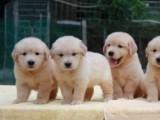 可爱至极 金毛 送宠物用品,健康当场检测 送用品