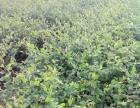 台湾青枣苗种植电话