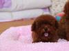 中国较大双血统泰迪犬