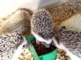 魔王松鼠,金花雪地,松鼠迷你刺猬等等现货小宠物