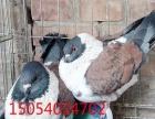 周口马甲芙蓉鸽,马甲球胸鸽,仙女鸽出售