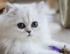 南京本地猫舍【英短蓝猫,银渐层,蓝白等】包健康疫苗