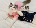 布偶猫奶油双色海双蓝双纯种双色布偶猫活体幼猫