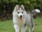 犬舍出售/三火哈士奇犬/蓝眼哈士奇雪橇犬/赛级哈士奇幼犬