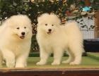 纯种熊版萨摩耶幼犬雪橇犬 白色微笑天使中型犬包健康