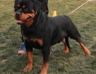 大连哪里有卖罗威那 纯种罗威那多少钱 赛级罗威那幼犬图片