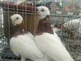出售观赏鸽 肉鸽