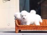 金华哪里有宠物狗卖萨摩耶 的天使般的笑容萨摩耶宝宝