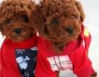 浦东哪里有泰迪犬卖 浦东泰迪犬价格 浦东泰迪犬多少钱