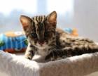 贵阳哪里有孟加拉豹猫卖 野性外表温柔家猫性格 时尚 漂亮