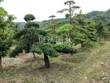 异型罗汉松盆景造型 造型罗汉松树苗多少钱一棵