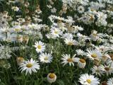 河北大滨菊种子价格一亩地需要基金