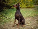 北京品质保证,血统纯正,正规繁殖基地出售大中小型宠物犬