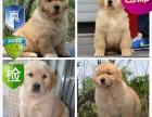 成都簽訂協議 照片真實拍攝 疫苗驅蟲做好 金毛幼犬