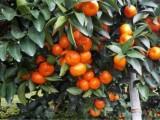 桂林臨桂沙糖桔 砂糖橘種植基地 廣西沙糖桔