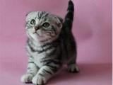 傲娇萌猫纯种折耳猫 美短渐层蓝白折耳宠物猫活体幼体