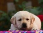 纯种拉布拉多幼犬血统品相纯正确保健康支持上门看狗