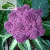 保健蔬菜种子紫色花菜种子