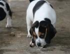 镇江比格多少钱 镇江哪里卖健康的比格猎犬 比格犬价格