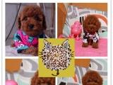 出售纯种健康的泰迪幼犬 茶杯玩具泰迪 纯种健康