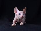 斯芬克斯加拿大无毛猫母纯白蓝眼妹妹三个月找新家