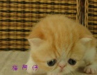 【幸福猫苑】电影版红虎斑加菲,品相好,价不高