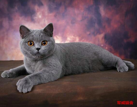 英短蓝猫 一只大胆好奇兼温柔猫咪 包品质