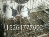 出售芙蓉种鸽