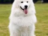 常年出售各种纯种宠物名犬 包健康 可签协议 可上门看狗