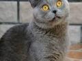 超可爱加白四脚踏雪蓝猫英短弟弟出售预定