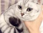 折耳立耳渐层,日常吸猫,喂!看我干吗
