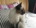 暹罗猫,海豹暹罗幼猫