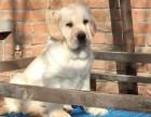 重庆哪里有拉布拉多犬出售 纯种的拉布拉多犬多少钱