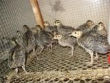 重庆市万州区方红强山鸡养殖场出售各种鸡苗
