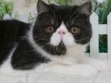 加菲猫异国短毛猫幼崽黑白弟弟