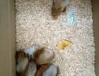 出售宠物松鼠魔王松鼠雪地松鼠红腹黄山金花睡鼠