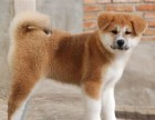 本地出售日系秋田犬出售高品质幼犬可上门挑选