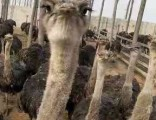 怎么养羊驼