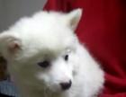 出售小银狐犬一只