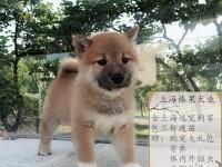 上海闵行区有真实地址的大型宠物基地 纯种柴犬现货签合同可上门