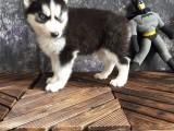 芜湖哪里有宠物狗卖精品三火蓝眼哈士奇雪橇犬证书齐全