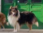 宠物店里的苏格兰牧羊犬可以买吗 健不健康