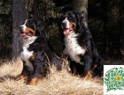 哪里有伯恩犬的,伯恩犬多少钱一只