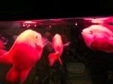 3条元宝鹦鹉鱼出售