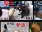 卖宠物魔王松鼠..