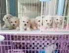 东莞本地狗场直销 纯种比熊幼犬 包健康包三个月签协议