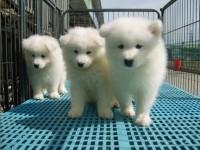 微笑天使萨摩耶幼犬澳版萨摩熊版雪橇犬