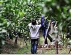 金秋旅游 上海农家乐推荐 采桔子猕猴桃 钓大闸蟹烧烤划船