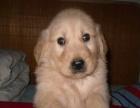 超可爱的金毛幼犬低价转让、上门可优惠、送用品