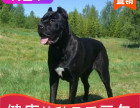本地出售纯种卡斯罗幼犬,十年信誉有保障